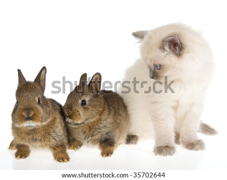 Ragdoll kitten with two brown bunnies on white background