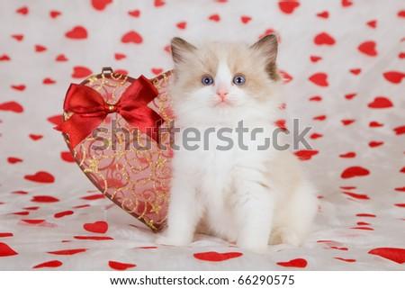 Ragdoll kitten with Valentine heart