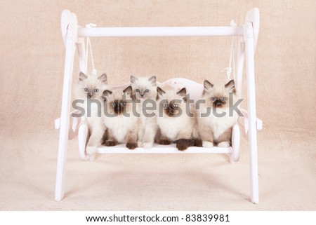 Ragdoll kittens on garden swing