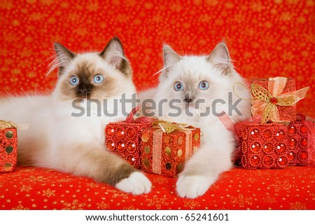 Ragdoll kittens with Christmas gifts presents on red background