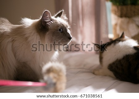 ragdoll on the bed #671038561