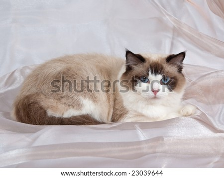 Ragdoll seal bicolor adult on champagne colored backdrop 4
