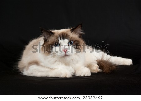 Ragdoll seal bicolor on black background 2