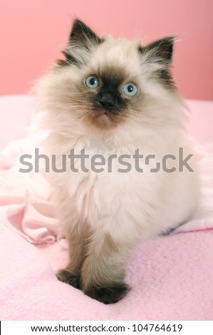 Ragdoll seal point kitten pink background