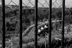 Railing and metellic net in the foreground, in the background, out of focus rails of an urban train. Black and white photo