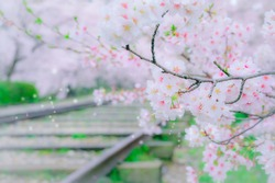 Railroad tracks and cherry blossoms