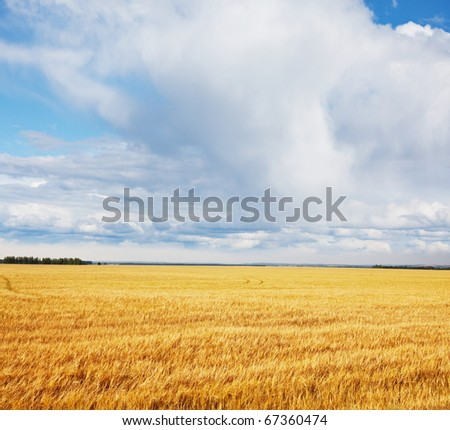 Rain above wheat field