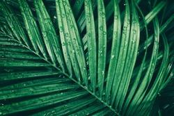 rain drop on tropical palm leaf, dark green background