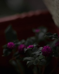 Rain Drops on Leaf Flower , Dew Drops , macro closeup photography , droplets pinkflower