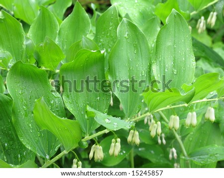 Rain-drops on leaves after rain, white flowers
