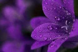 Rain drops on purple flower