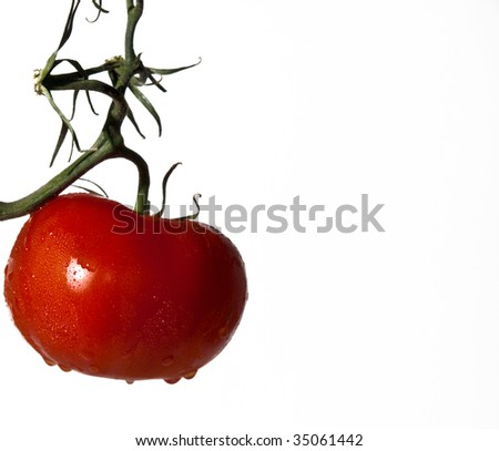 Rain drops on red tomato hanging on a vine. Clean white background