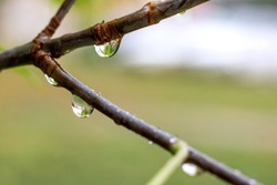 Rain drops on the branches of a tree close up