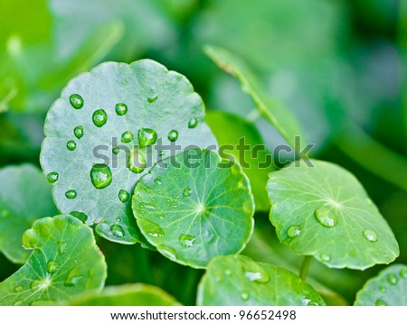 rain drops on water plant leafs
