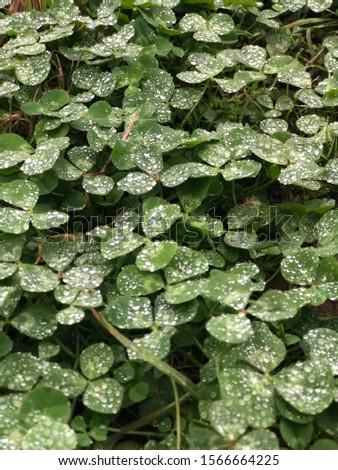 Rain drops or dew drops on green clovers #1566664225