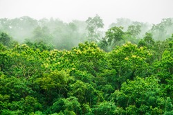 Rain forest with misty. Abundance of tropical forest have teak or Tectona grandis flowering.