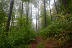 Rain in beech forest in autumn. Wet leaves. Fog between the trees.  Beech trees trunks. High trees. Brown leaves on the ground. Forest path. Primeval Europe beech forest.