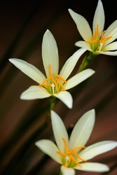 Rain Lily or zephyranthes lily is yellow and beautiful flower bloom in rainy season with black background