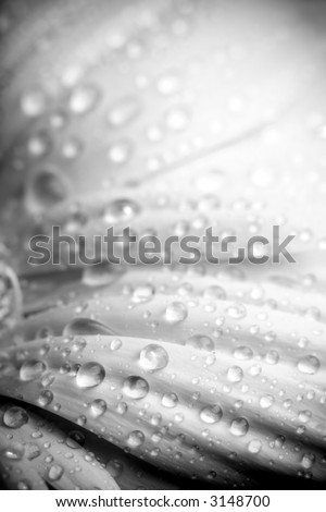 rain on flower petals, a black and white abstract macro with limited dof