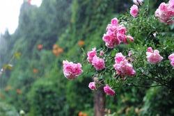 Rain or spring ,Summer flowers in the rain