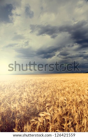 Rain over wheat field