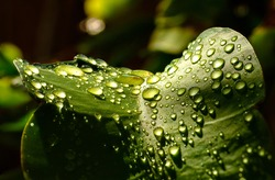 rain water drops on green leaf of plant spring concept