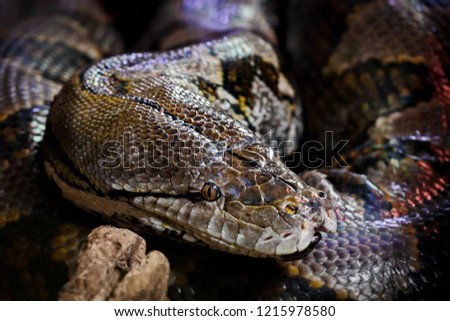 Rainbow boa. South American Boa Constrictor (Epicrates cenchria). A terrestrial species, it is known for its attractive iridescent/holographic sheen caused by structural coloration.