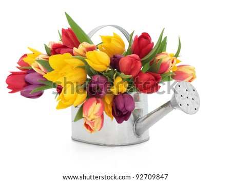Rainbow coloured tulip flowers in an old metal watering can isolated over white background.