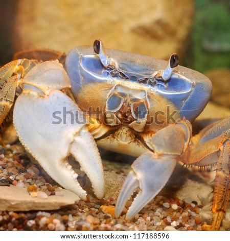 Crabe ewe Stock-photo-rainbow-crab-117188596