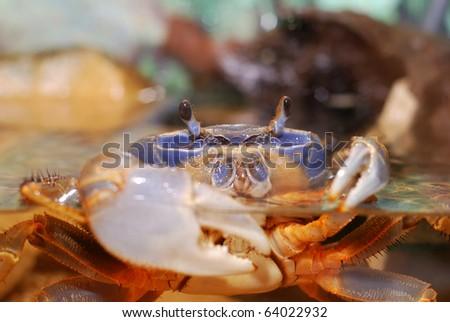 Rainbow crab Cardisoma armatum in aquarium
