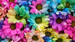 Rainbow Daisies. Rainbow Flower. Bouquets of blossom rainbow flowers, selective focus. Multi colored daisy flowers pattern background
