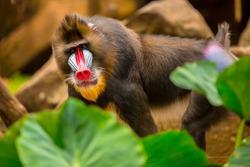 Rainbow Face Monkey Mandrill. Beautiful mandrill portrait.