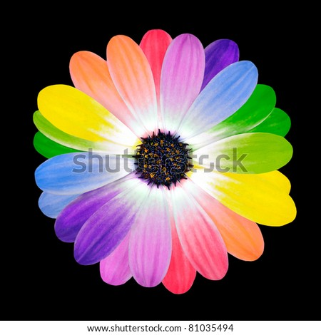 Rainbow Flower Multi Colored Petals of Daisy Flower Isolated on Black Background. Range of Happy Multi Colours.