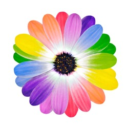 Rainbow Flower -  Multi Colored Petals of Daisy Flower Isolated on White Background. Range of Happy Joyful Multi Colours.