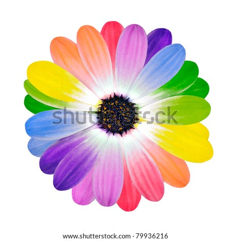 Rainbow Flower -  Multi Colored Petals of Daisy Flower Isolated on White Background. Range of Happy Joyful Multi Colours.