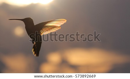 Rainbow Hummer in Flight - Photograph of a Ruby Throated Hummingbird in flight against a background of a late afternoon sky with clouds and a setting sun which shows rainbow like colors in the wings.