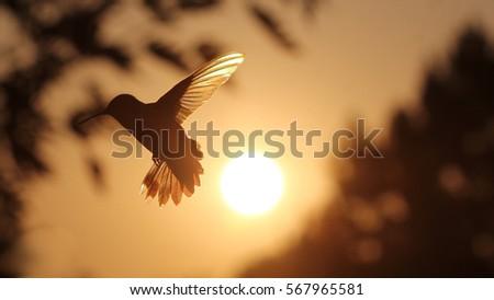 rainbow hummer in flight  ...
