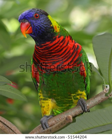 rainbow lorikeet #51544204