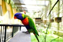 Rainbow lorikeet bird isolated on blurred and bokeh background