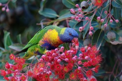 Rainbow lorikeet eating the nectar from Red-flowering Gums
