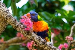 Rainbow Lorikeet eating the nectar of the Bolwarra tree. Taken in the Royal Botanic Garden, Sydney, Australia.