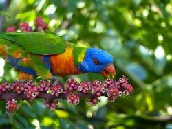 Rainbow Lorikeet feeding on Umbrella Tree Flowers