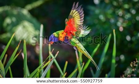 Rainbow lorikeet in flight, Flying lorikeet prepare for landing. Nature blur background, Australia