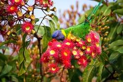 Rainbow Lorikeet in Flowerin Gum
