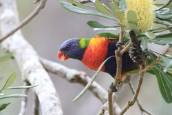 Rainbow Lorikeet in the search for food, Queensland, Australia