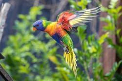 Rainbow lorikeet still on flight