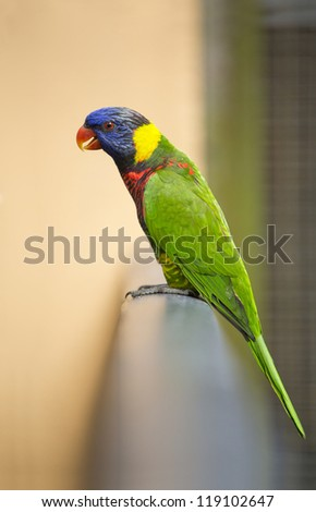 Rainbow Lorikeet, Trichoglossus haematodus on the fence - stock photo