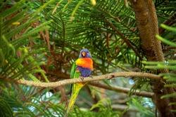 Rainbow lorikeet (trichoglossus moluccanus) in the branches of a Norfolk Island Pine (araucaria heterophylla)