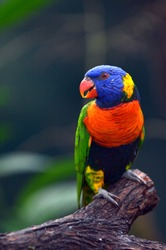 Rainbow Lorikeet (Trichoglossus moluccanus) native bird to Australia sit on a tree branch in rain forest in the tropical north of Queensland, Australia. No people. Copy space