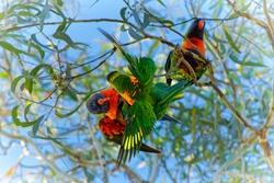 Rainbow Lorikeet - Trichoglossus moluccanus- species of parrot from Australia, common along the eastern seaboard, from northern Queensland to South Australia, rainforest, coastal bush and woodland